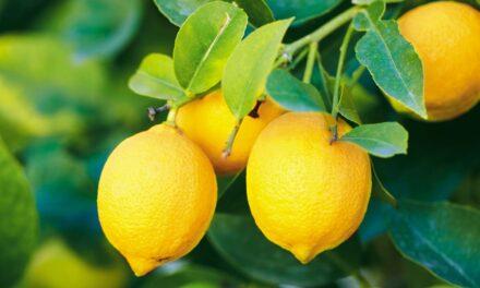 8 Lemon Balm Benefits + Easy Recipes for Tea, Tincture & More